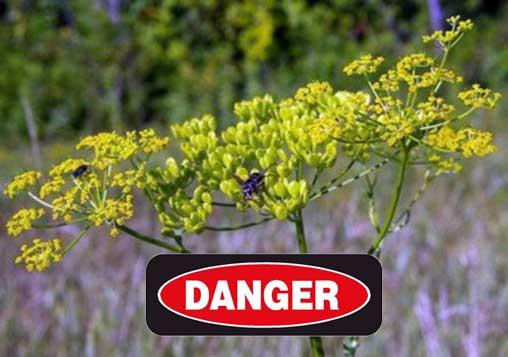 Danger - wild parsnip